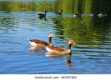 Ducks swimming happily in a pond in a park in London, United Kingdom