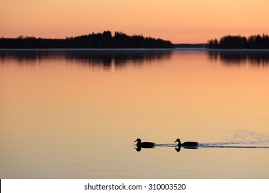 Ducks swimming in lake at sunset time