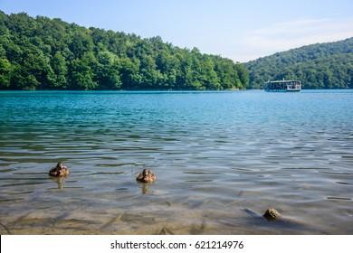 Ducks swimming on lake above fish - Plitvice lake