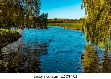 Ducks swimming on the River Stour in Sudbury, Suffolk in Autumn sunshine