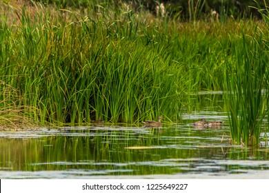 Ducks swimming in part in Ontario Canada
