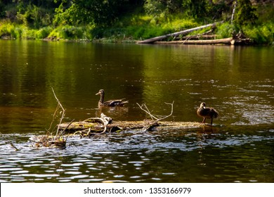 Ducks swimming in the river Gauja. Ducks on the wooden log in the middle of the river Gauja in Latvia. Duck is a waterbird with a broad blunt bill, short legs, webbed feet, and a waddling gait.