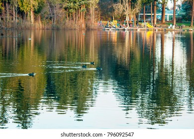 ducks swimming with tree line water reflection