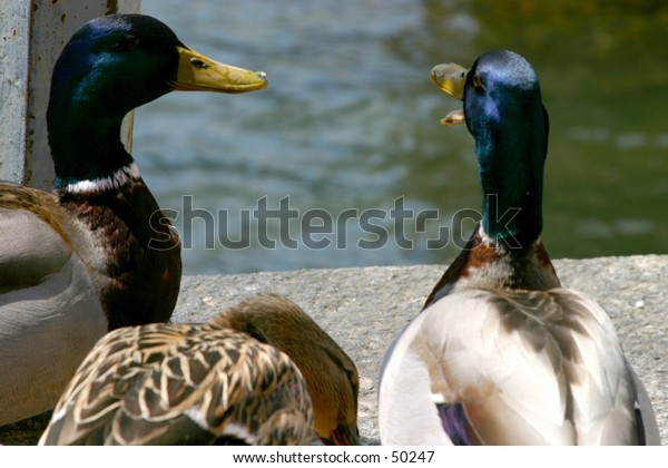 ducks talking to eachother