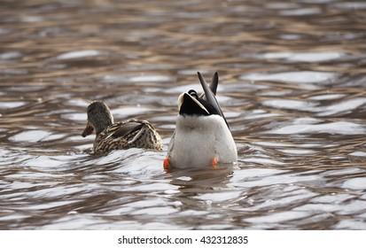 ducks upside down in a lake