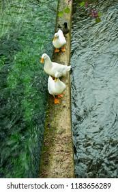 ducks walkin on water
