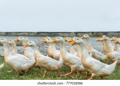 Ducks walking in the countryside of the local village