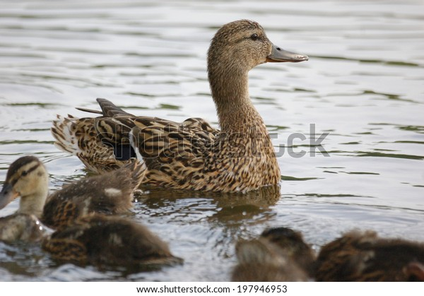 ducks-water-mother-baby-birds-600w-19794