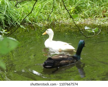 Ducks in the water of a pond