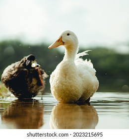 Ducks water summer lake goldenhour