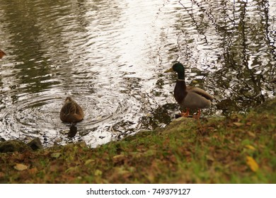 Ducks at the water's edge - France - Europe