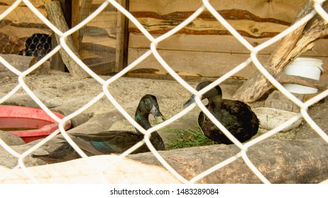 Ducks, white ducks, black ducks, poultry, farm, zoo, wild birds, travel, vacation, village, waterfowl, flock of birds, birds, bird cage, pitching, tourism