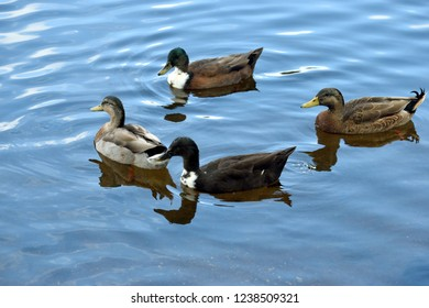 Ducks in the wild wading on lake background
