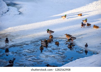 Ducks in winter ice water. Ducks swim in winter water