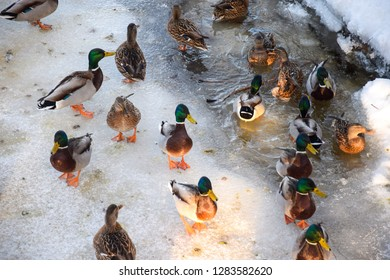 Ducks in winter water ice view. Duck bath water in winter. Winter ducks water scene