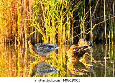 Ducks-Mallard ducks Anas platyrhynchos on lake at sunset. Sitting on stones in water. With reflections on the water surface.