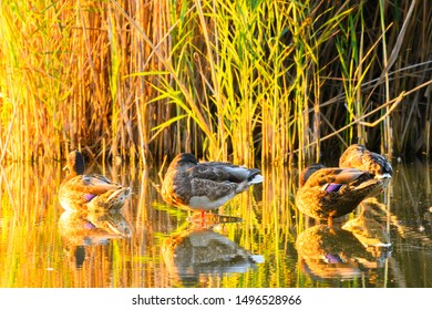 Ducks-Mallard ducks Anas platyrhynchos resting in lake at sunset.With reflections on the water surface