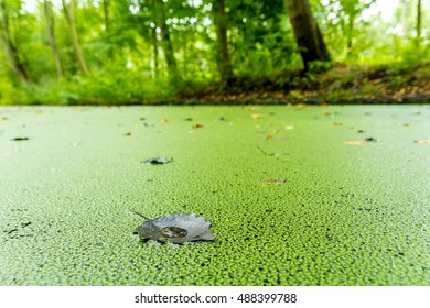 Duckweed growing on a dutch canal in the autumn