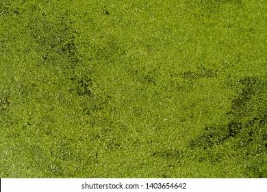 Duckweed in swamp in South Carolina