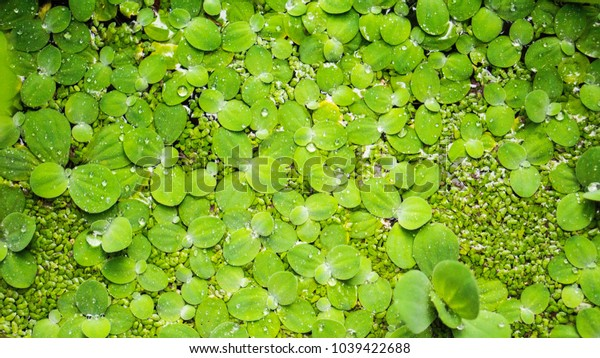 duckweed texture background, with water drop