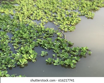 Duckweeds are on water surface