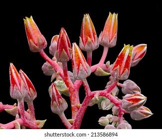 Dudleya (dudleya cymosa) blossom, Southern California, USA.