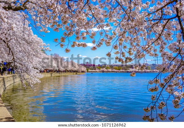 Due Cold Weather Sakura Washington Dc Stock Photo (Edit Now