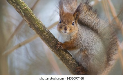Due to their wide-ranging diet, red squirrels are able to live in a range of different forest habitats. They are found in both coniferous and deciduous (broadleaved) woodlands. ... Squirrels sleep