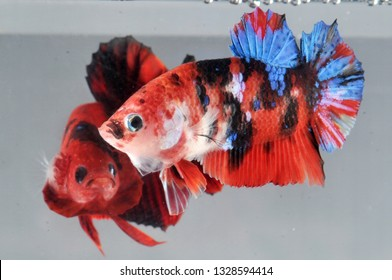 duel plakat koi betta fish