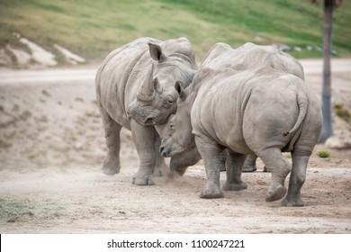 Dueling, Sparring Rhinoceros