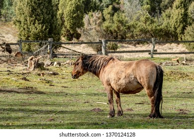 Duelmener horse in the Lüneburg Heath reservation. The Duelmener horses have been living in the Lueneburg Heath for 10 years and are kept outdoors all year round.