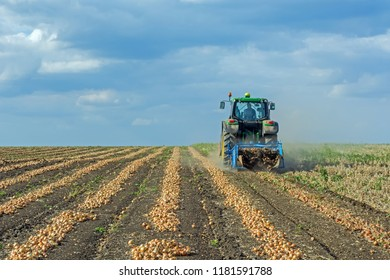 dug up onions in the field in rows, before harvesting by a combine harvester