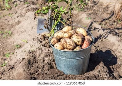 Dug organic potatoes of new harvest in metal bucket and shovel at the potatoes plantation