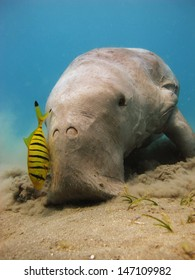 Dugong dugon eating seagrass, accompanied by juvenile pilot jacks