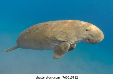 Dugong dugon (seacow or sea cow) swimming in the tropical sea water