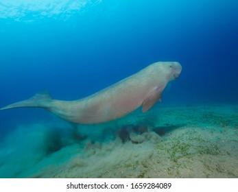 Dugong (sea cow) swimming underwater