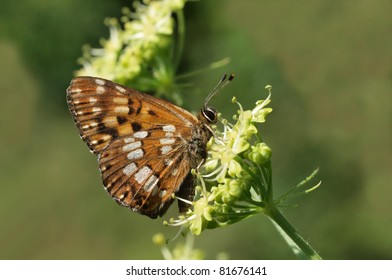 Duke of Burgundy (Hamearis lucina) butterfly