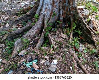 duku root tree ( akar )