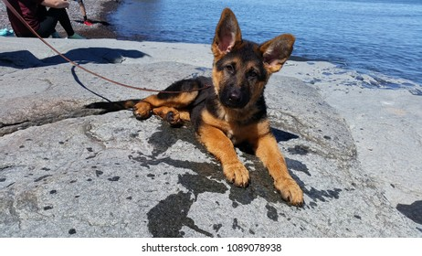 Puppies Isolated Images, Stock Photos & Vectors | Shutterstock