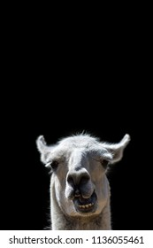 Dumb Animal. Goofy confused looking Llama head popping up with stupid talking face. Funny meme image isolated against black background with copy-space for message or speech bubble..