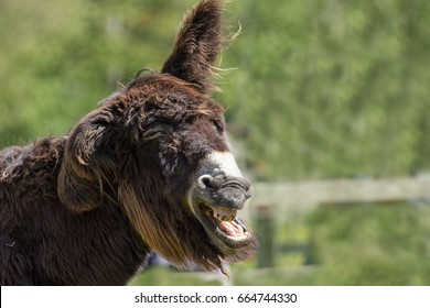 Dumb animal. Stupid looking hairy donkey jackass laughing out loud. Drunk looking party animal playing the fool.  Funny animal meme image of a wonky donkey with copy space.
