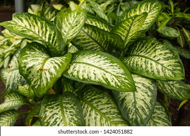 Dumb Cane (Dieffenbachia Exotica), native to the New World Tropics from Mexico and the West Indies south to Argentina.