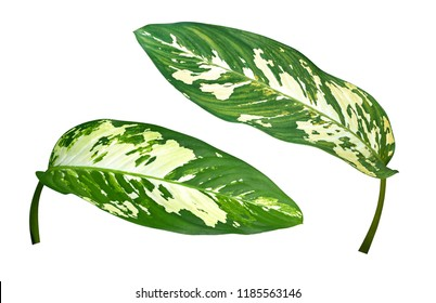 Dumb Cane (Dieffenbachia) green tropical foliage plant leaves isolated on white background, clipping path