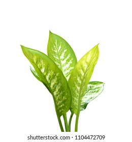Dumb Cane (Dieffenbachia) leaves with water drops isolated on white background.