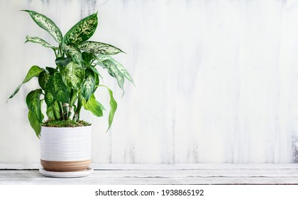 Dumb Cane, Dieffenbachia, a popular houseplant, over a rustic white farmhouse wood table with free space for text.
