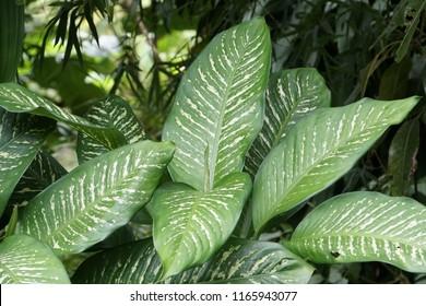 dumb cane or Dieffenbachia, Rohdea japonica, Variegata