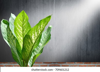 Dumb cane leaf with sunlight and wood background