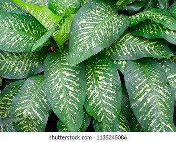 Dumb cane leaves pattern