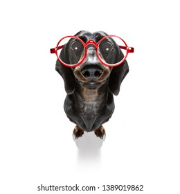 dumb crazy sausage dachshund dog with nerd glasses as an office business worker with pencil in mouth ,full body ,  isolated on white background