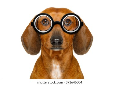 dumb nerd silly dachshund sausage dog wearing funny  glasses , isolated on white background